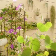 洋風/ガーデニング/ガーデン/お庭/フラワー/お花/... 朝顔をフェンスに絡ませました。 和風のイ…