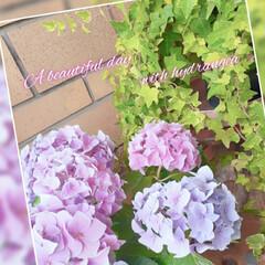 梅雨/梅雨対策/雨対策/梅雨対策アイテム/梅雨便利グッズ この時期は、やっぱり紫陽花ですよね(*˘…