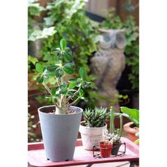 砂漠のバラ/アデニウム/観葉植物 寒い時期は、室内で。 暖かくなってからは…(1枚目)