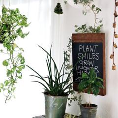 キャベツボックス/みどりの雑貨屋/インテリアグリーン/観葉植物/漆喰の壁/漆喰/... ホワイト空間って グリーンが映えます♫