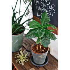 観葉植物/キャベツボックス/みどりの雑貨屋/コーヒーの木/インテリアグリーン/ボタニカル/... 突然ですが。。。 珈琲を淹れる時は 豆を…