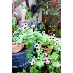 ガーデニング/ガーデン/マンション暮らし/ペチュニア/ベランダガーデニング/ベランダガーデン 我が家のベランダガーデン 数少ないお花 …
