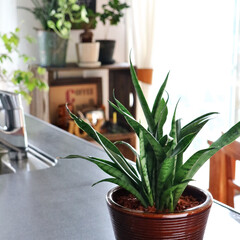 観葉植物/鉢/信楽焼/メイドインジャパン/サンスベリア/インテリアグリーン/... サンスベリアの植え替えをしました。  こ…