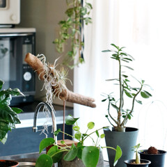 インテリアグリーン/観葉植物/キッチンDIY/夏インテリア/インテリア/DIY/...  最近のキッチン周り。 管理がしやすいし…