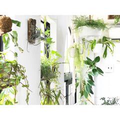 グリーンのある暮らし/グリーン/植物/観葉植物/植物のある暮らし/DIY/... 窓際のグリーンたち、 あたたかくなってき…