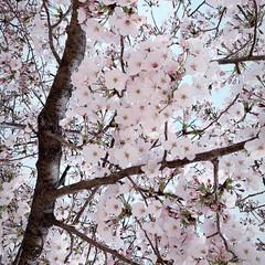 花/満開/桜/春のフォト投稿キャンペーン/風景/春の一枚 桜が満開🌸 今日は息子の入学式だったので…