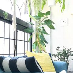 植物/リビング/リビングインテリア/インドアグリーン/観葉植物/グリーンのある暮らし/... 気持ちのいい朝  ソファにすわるとちょう…(1枚目)