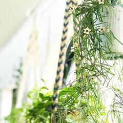 ボタニカルライフ/リプサリス/植物と暮らす/植物/インテリア/住まい 家で育ててるリプサリス(^ ^) 白い花…