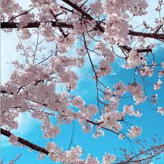 快晴/桜/満開/春/春のフォト投稿キャンペーン/春の一枚 近くの公園の桜が満開🌸 すごくいい天気で…