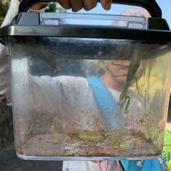 遊び/虫/子供と暮らす/虫取り/カマキリ/暮らし 子供たちと虫取りにいって大きいカマキリを…