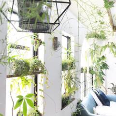 観葉植物/植物/植物のある暮らし/グリーンのある暮らし/グリーン/DIY/... 今日は雨ですが、いつかの晴れの日の写真で…