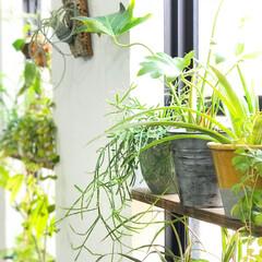 グリーンのある暮らし/観葉植物/植物のある暮らし/植物/グリーン/DIY/... 縦長の窓にL字金具とSPF材で棚をつけて…