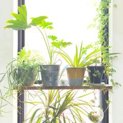 グリーンのある暮らし/植物のある暮らし/植物/グリーン/DIY/雑貨/... 縦型の窓の真ん中にSPF材とL字の金具で…