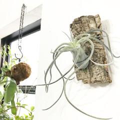 インテリア/フェイクグリーン/エアプランツ/植物と暮らす/植物/インドアグリーン 本物にも見えますが、エアプランツのフェイ…(1枚目)