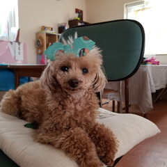 トイプードル女の子/12歳/リボン/あけおめ/ペット/犬 福ちゃん いたずらされてることに気づいて…