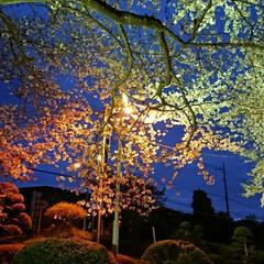 春のフォト投稿キャンペーン/はじめてフォト投稿 初めて夜桜を撮った写真💐💝まさか家の近所…
