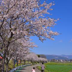 「桜」(1枚目)