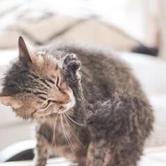ネコシャン/ネコ/シャンプー/ペット シャワー浴びた後はずーっと毛づくろいに余…(1枚目)