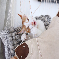 cat/ねこ/猫/噛みグセ ひも状のものはすぐ噛み噛みするココ。噛ん…