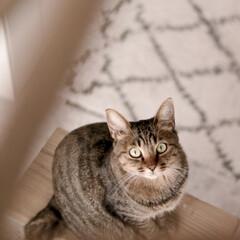 cat/猫/ネコ/ペット 一点を集中して見てるリムちゃん♬  カメ…(1枚目)
