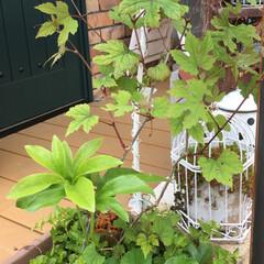 グリーン 鉢の中で植えてないのに大きくなってる、こ…
