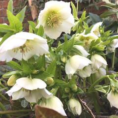 クリスマスローズ/花/garden 今日のクリスマスローズ 沢山咲き始めまし…