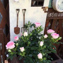 グリーン 優しいピンクのミニバラを買って来ました💕…