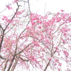 桜/garden/住まい 我が家の枝垂れ桜が咲き始めました いつも…
