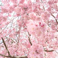 garden/桜 満開になりました!