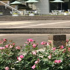 綺麗/薔薇の花/ばらの花/平塚駅/美術館/芸術/... こんにちは(o^^o) いつもありがとう…