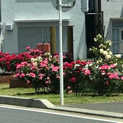 市役所前/平塚市内/ばら/花の写真/満開/ばらの花/... こんにちは(o^^o) いつもありがとう…