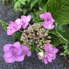 曇り/梅雨/紫陽花/あじさい/花の写真/お花の写真/... こんにちは(o^^o) いつもありがとう…