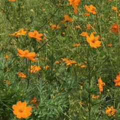 綺麗なお花/綺麗な花/綺麗/季節/あき/オレンジ色のお花/... Twitter      あかね@aka…