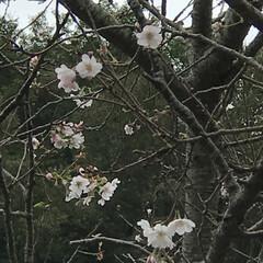 紅葉/紅葉始まるね/立冬/立冬来るね/櫻/さくら/... こんにちは(o^^o) いつもありがとう…