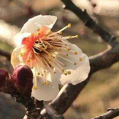 晴れ/はる/うめの花/春の訪れ/春/あったかい日/... こんにちは(o^^o) いつもありがとう…