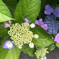 紫色/夏が来る/梅雨/梅雨入り/もうすぐ梅雨入り/もうすぐ/... こんにちは(o^^o) いつもありがとう…