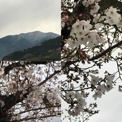 ナチュラルな暮らし/ナチュラル/春/ハッピースプリング/スプリング/SAKURA/... こんばんは(o^^o) いつもありがとう…