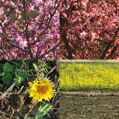 春がいっぱい/お花/花/happywinter/happyspring/昼間は暖かい/... こんばんは(o^^o) いつもありがとう…