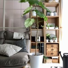 スカンジナビアンインテリア/boho/DIY/フロアタイル/白い床/観葉植物/... うちに来て2年のウンベラータを植え替えま…