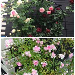 植物 どんよりとした朝。 薔薇満開です🌹