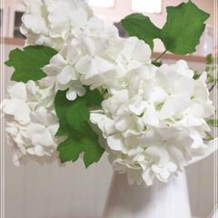 花/西洋カンボクスノーボール/ガーデン/ガーデニング/グリーン/インテリア/... 庭に咲いたスノーボール 大好きな花です❤️