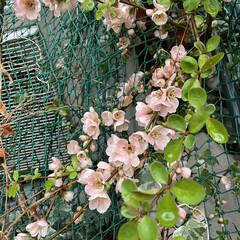 珍しい花 我が家のお花達 木瓜が満開となりました。…(4枚目)