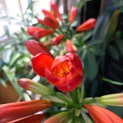 毎年咲く花達/グリーン 我が家の君子蘭です。毎年、花を咲かせて居…