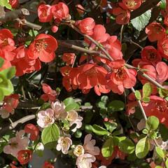 珍しい花 我が家のお花達 木瓜が満開となりました。…(3枚目)