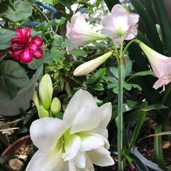 アマリリスの八重咲き白色/グリーン 白色の八重咲きとピンク色の単です。