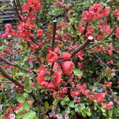 珍しい花 我が家のお花達 木瓜が満開となりました。…(5枚目)