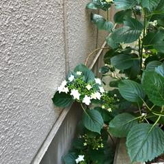 グリーン お隣さんの塀にそって咲いて居ました。(1枚目)