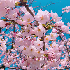フォト/写真/桜/春 青森県八戸市♡ 桜が咲き出しましたよ♡ …