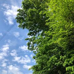写真/フォト/風景/空/散歩/青森県/... あさんぽ♡空♡木の〜コントラスト♡