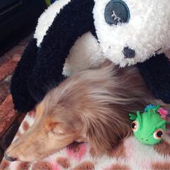 犬/愛犬/ミニチュアダックス/ぬいぐるみ/フォト/写真/... ココたん♪ミニチュアダックス♡チョコダッ…